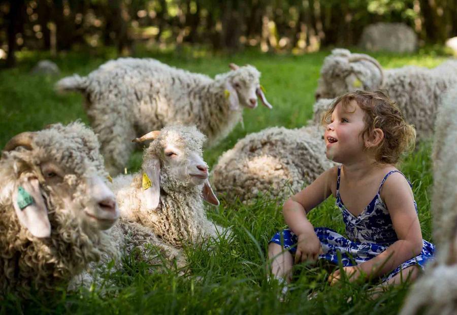 Tonte des chèvres Angora